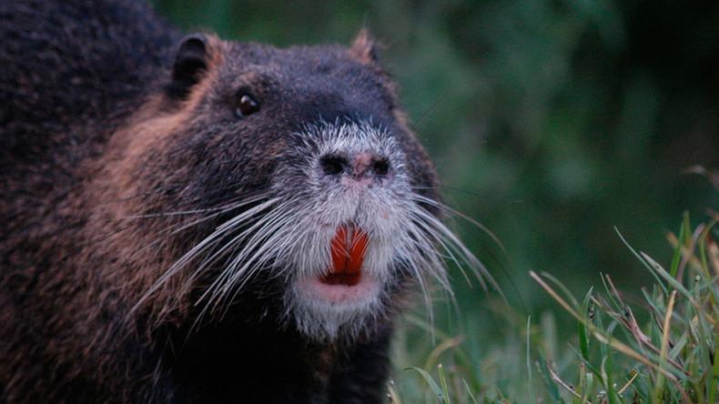 South Korea demands public kill river rats on sight, not eat them