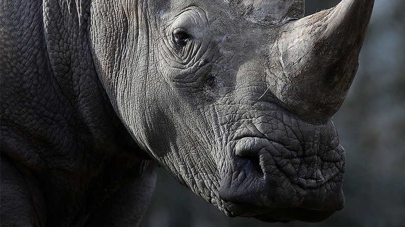 Czech zoo 'to dehorn rhinos' after poachers target animal enclosure in France (PHOTOS)