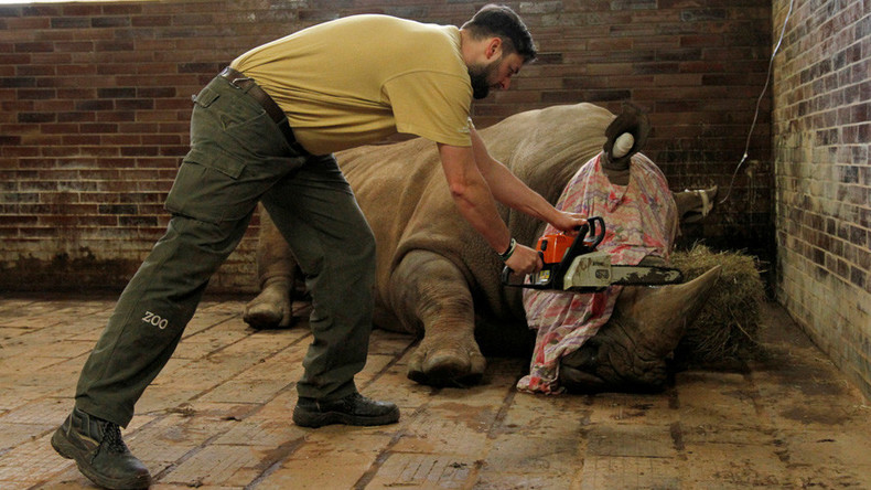 Czech Zoo begins cutting off rhino horns to pre-empt poacher attacks (VIDEO)