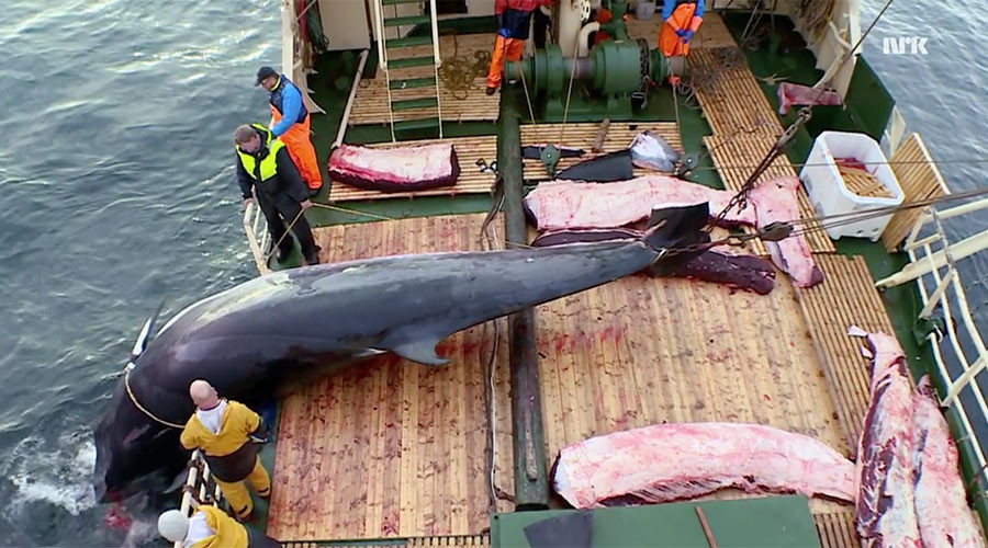 'Horrific': Animal rights groups slam Norway for killing pregnant whales