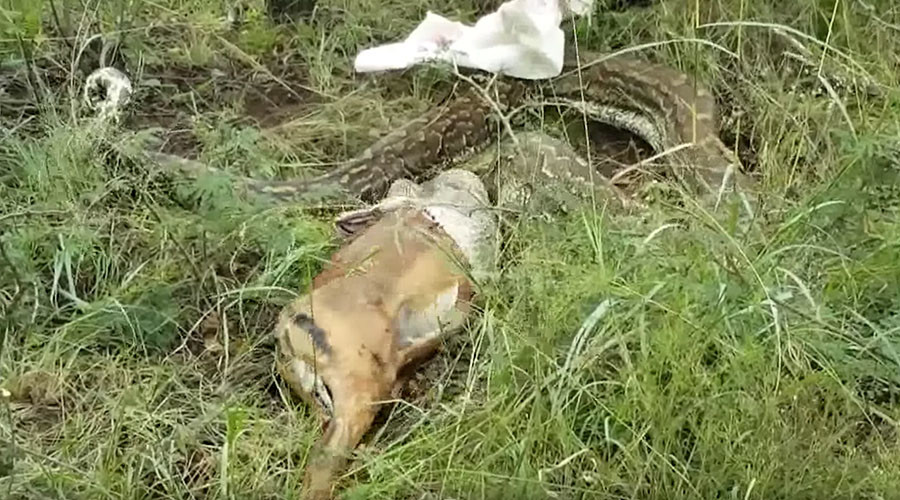 Snake bites off more than it can chew, vomits entire antelope (GRAPHIC VIDEO)