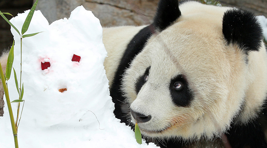 Do it like they do on the Discovery channel: Pornhub urges public to have Panda sex