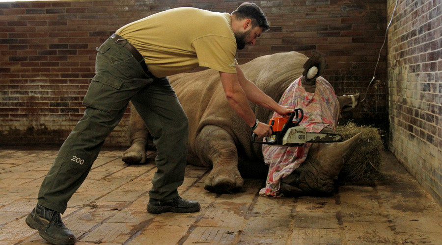 Czech Zoo begins cutting off rhino horns to pre-empt poacher attacks (VIDEO)