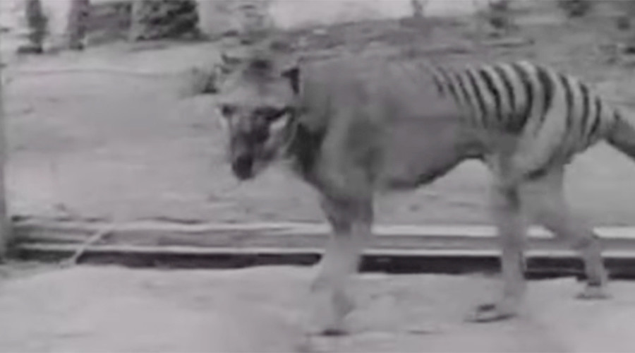 Search is on for the 'once extinct' Tasmanian Tiger