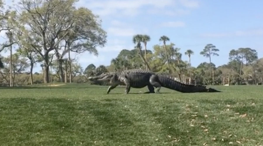 Who's your caddy? Giant alligator owns round of golf with power strut (VIDEO)
