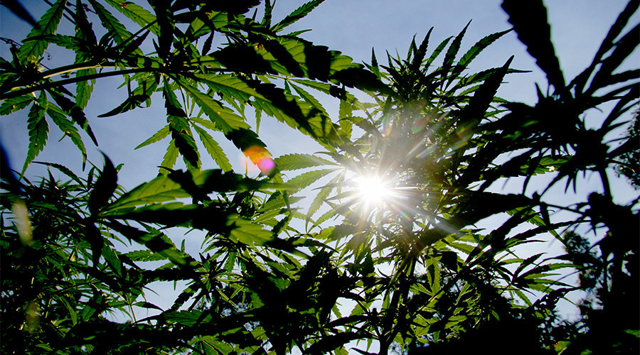Weed-to-know info: Scientists unlock key to marijuana flavor combinations