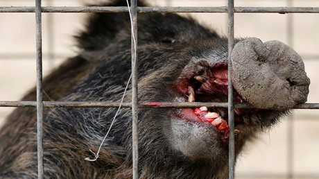 Radioactive Fukushima boars culled to clear way for returning residents (PHOTOS)