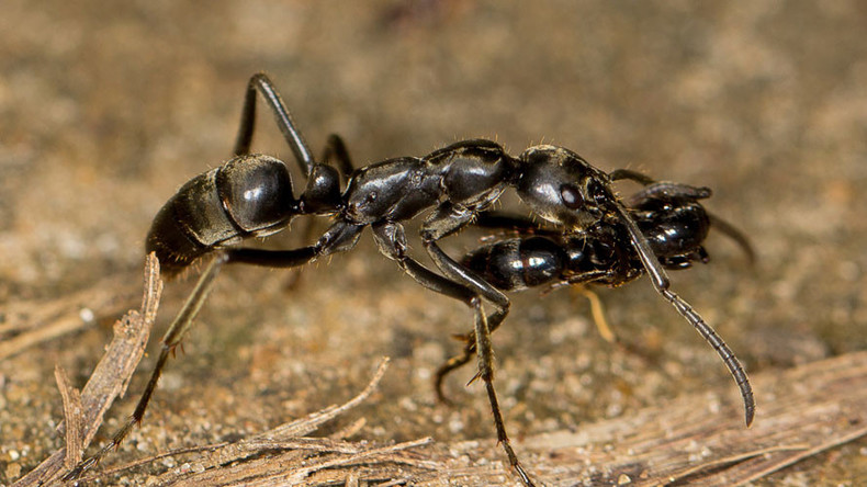 No bug left behind: Ants aid battle-wounded comrades, study says