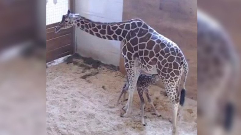 It's a boy! April the giraffe gives birth as massive global audience watches live (VIDEO)