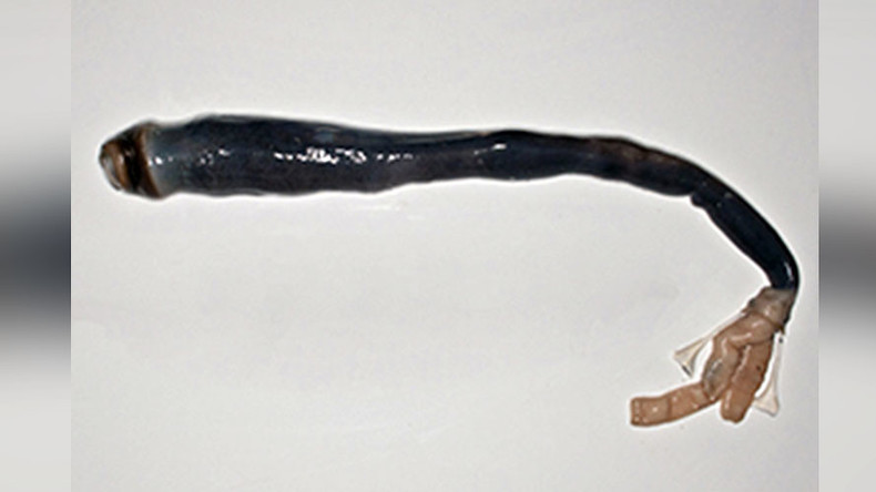 Marvel or monster? Scientists find living specimen of legendary giant shipworm (VIDEO)