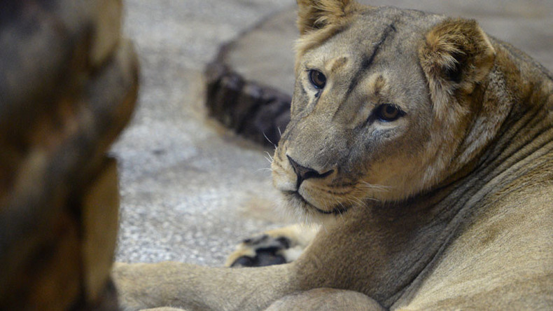 'Just a scratch': Lion attacks 15yo in middle of Russian city