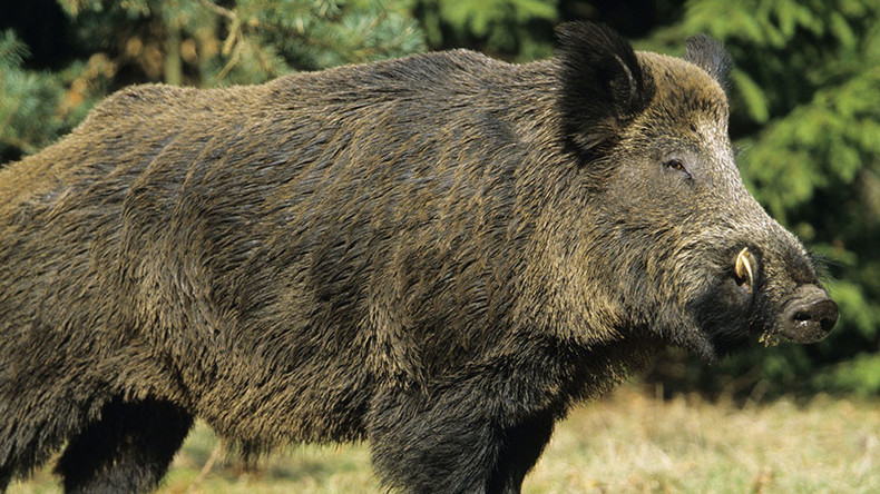 Rampaging wild boars kill 3 ISIS terrorists in Iraq