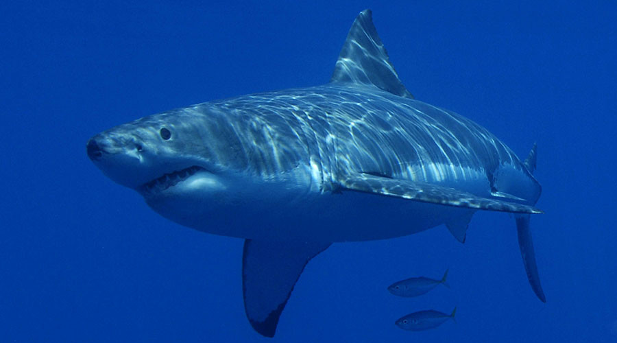 Jaws attacks: Great white shark chows down on carcass of humpback whale (VIDEO)