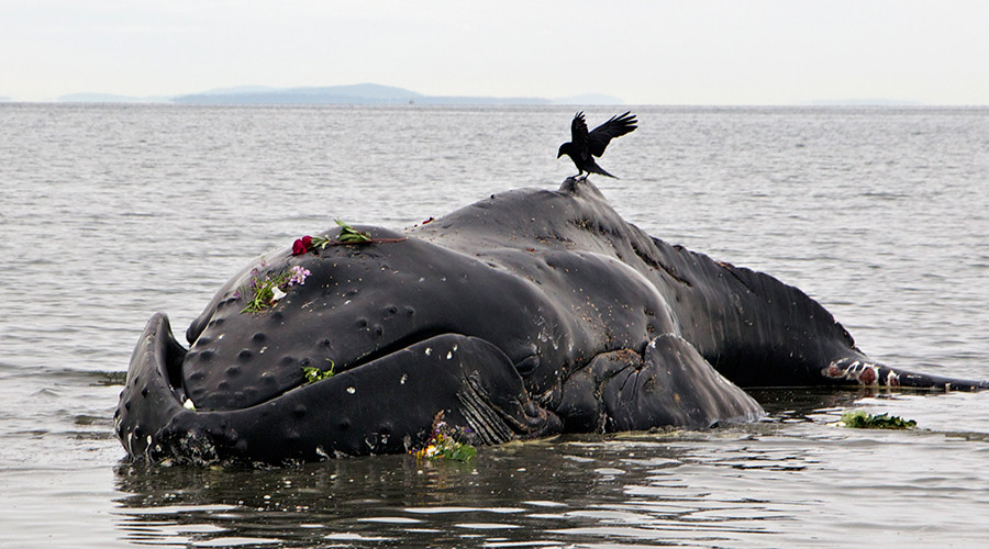 Mysterious spike in humpback whale deaths on Atlantic Coast