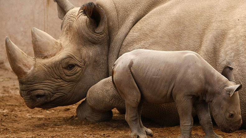 'Critically endangered' black rhinos back in Rwanda after 10 years