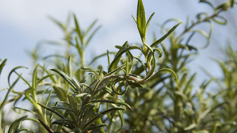 Whiff of rosemary helps you score better in exams – study