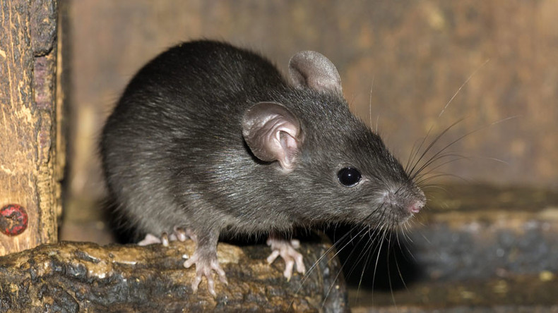 Indian police claim rats drank 900,000 liters of confiscated alcohol
