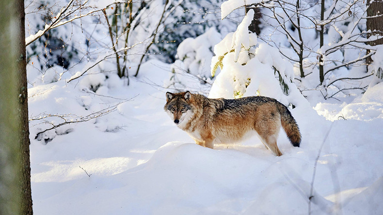 Great migration: Female wolf found to have travelled 500km to settle in rural Denmark