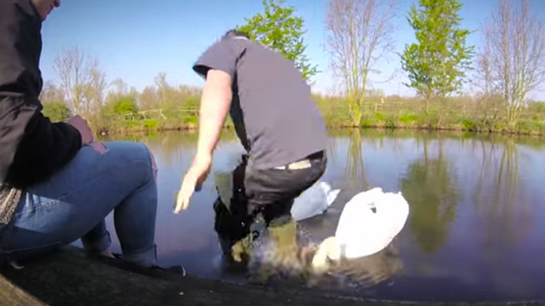 Animal rescuer tackles swan in daring fishhook rescue (VIDEO)