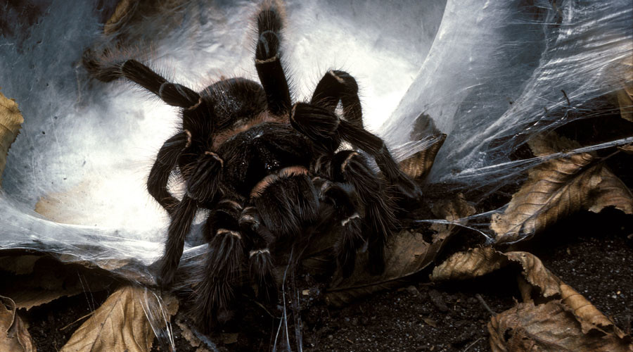 Creepy crawlies: Woman lives with 1,500 tarantulas