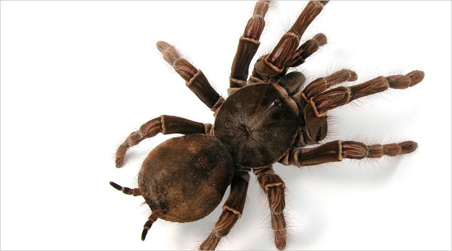 Venomous spiders earmarked for 'milking' escape egg sack in spine-chilling video