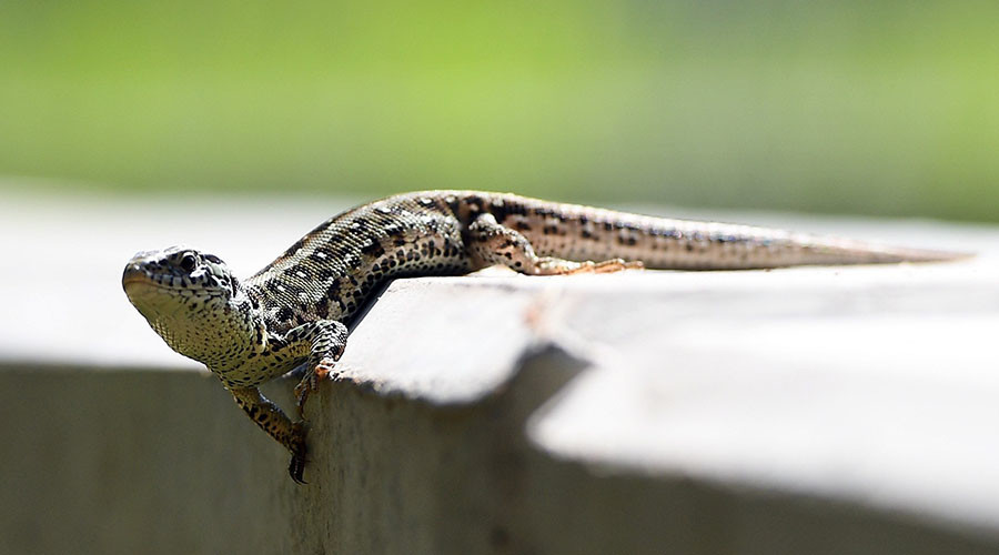 Thousands of lizards bring German rail project to screeching halt
