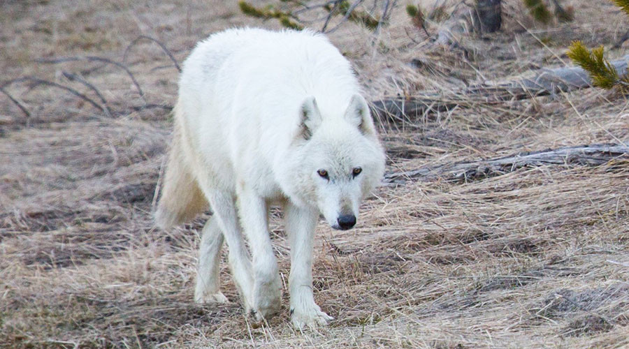 $10,000 reward offered for white wolf killer in Yellowstone Park