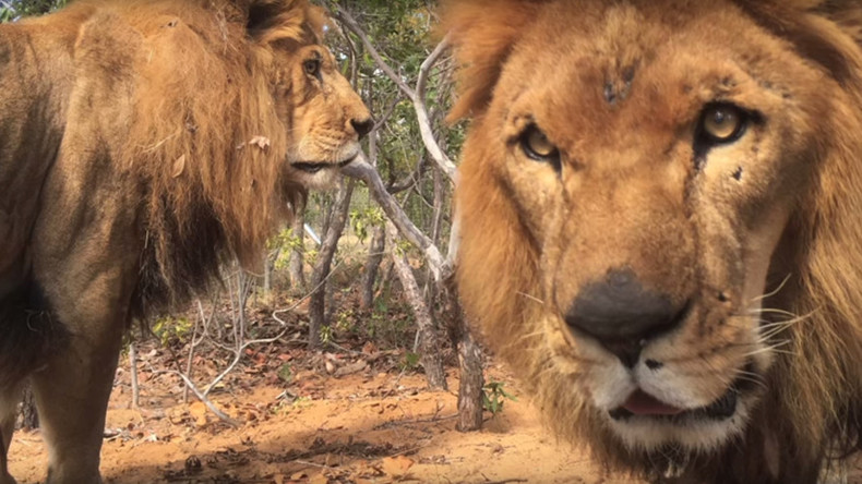 Lions rescued from circuses found mutilated in big cat sanctuary