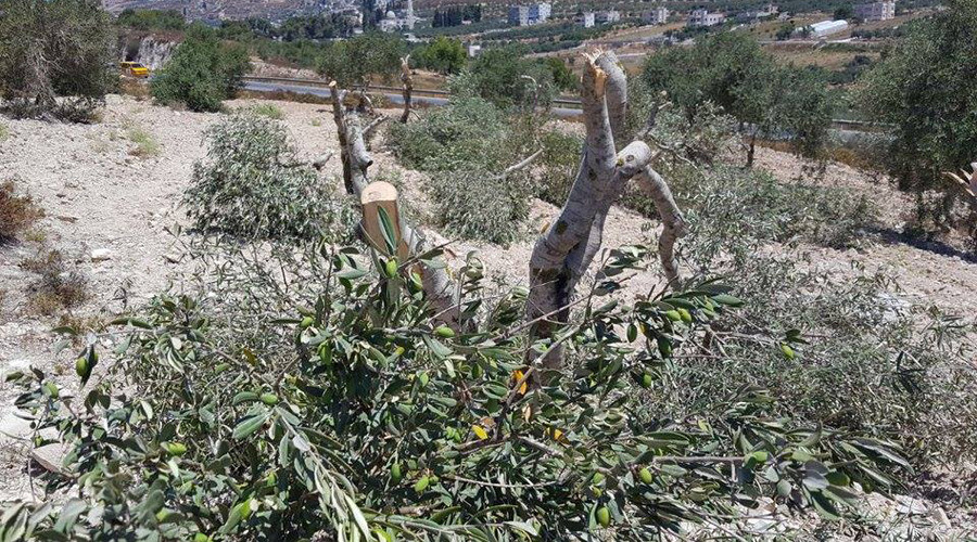 Israeli settlers suspected of destroying 45 olive trees in act of 'revenge' against Palestinians
