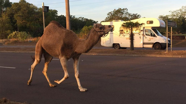 Runaway camel deserts circus, leads cops in low-speed pursuit (PHOTOS)