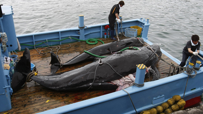Japanese whalers defy moratorium, start 'research hunt' before going commercial