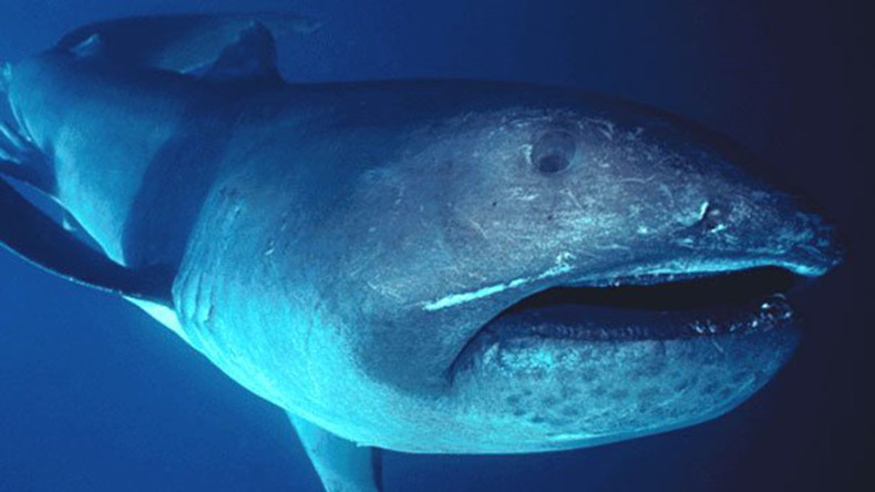 Rare megamouth shark swims with diver off Komodo Island (VIDEO)