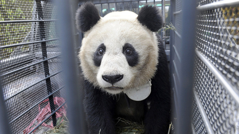 Famous Chinese panda facility under fire over animal cruelty footage (VIDEO)