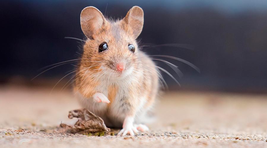 Deodor-rat: Real-life Ratatouille showers like a human (VIDEO)
