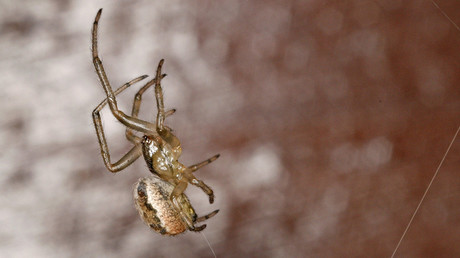 Venomous spiders earmarked for 'milking' escape egg sack in spine-chilling video