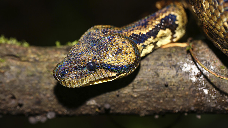 Snakes causing strain: How reptiles brought by US Navy devastated Guam