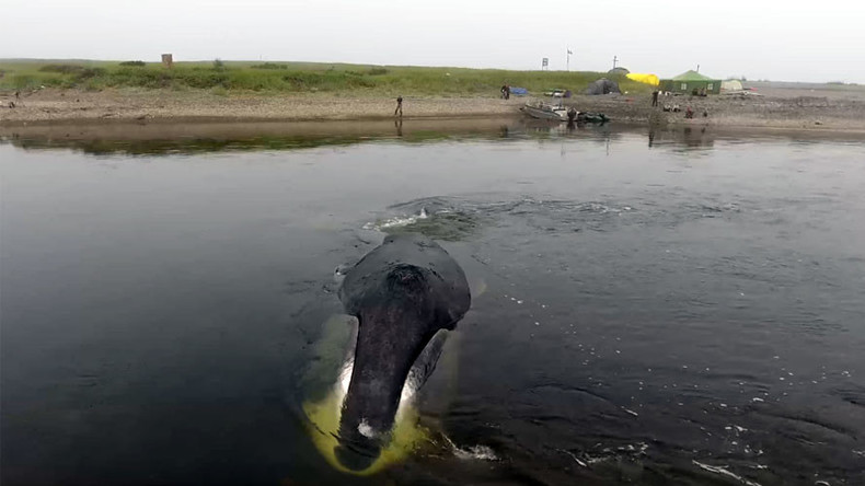 Baby whale rescued in Russia's Far East after getting stuck in low tide (VIDEO)