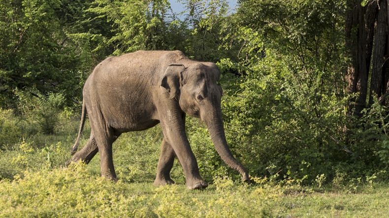 Elephant which killed 15 people given death sentence