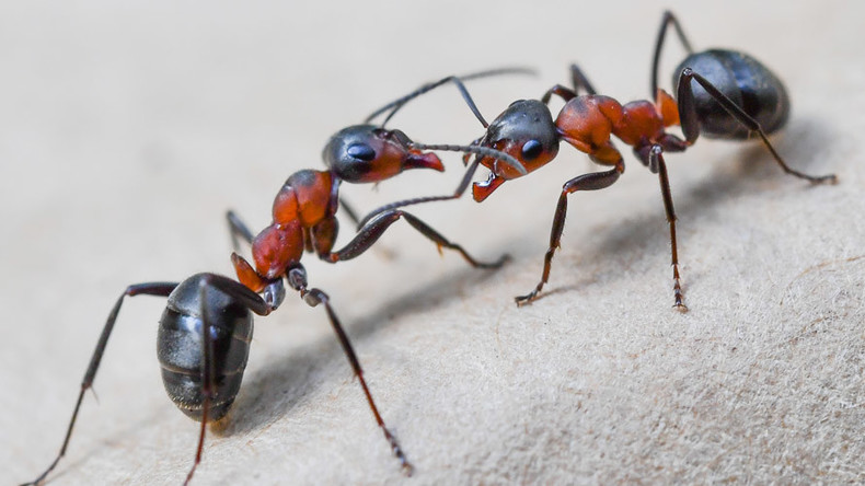 Gene-edited mutant ants create chaotic colony