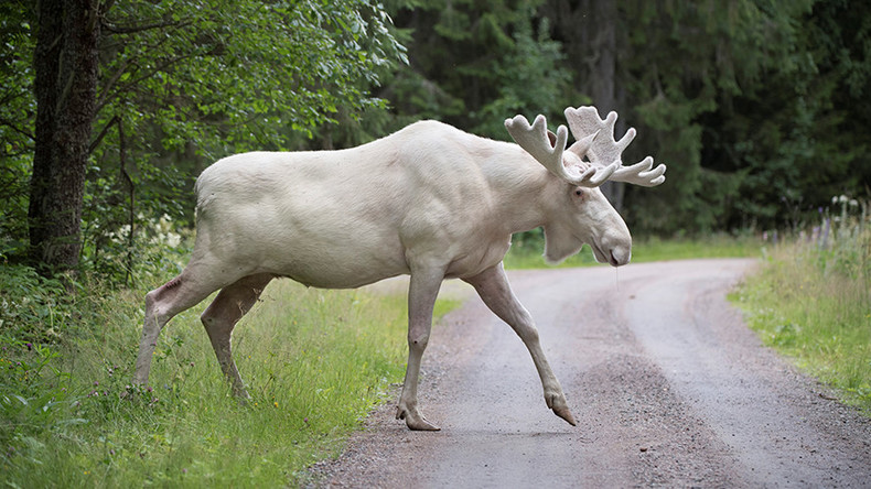 Rare white moose captured on film in Sweden (VIDEO)
