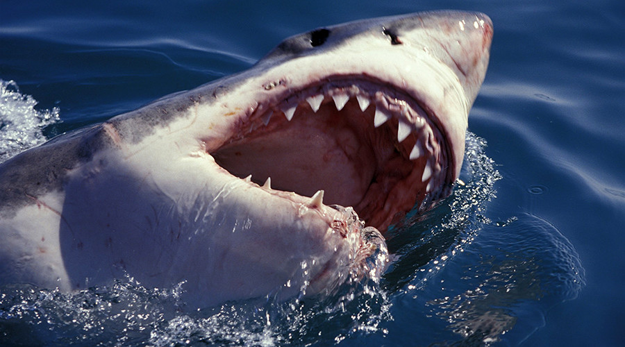 Gonna need a bigger camera! Great white chomps on researcher's camcorder (VIDEO)