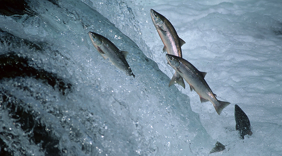 'Guinea pig' Canadians offered 'world's first' GMO salmon