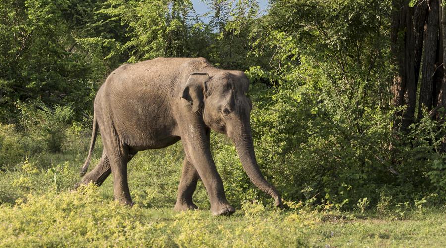 Smoking elephant captured lighting up jungle cigarette (VIDEO)