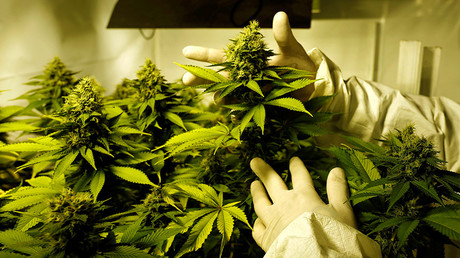 Justice Dept. and DEA don't see eye-to-eye on marijuana research & MS-13