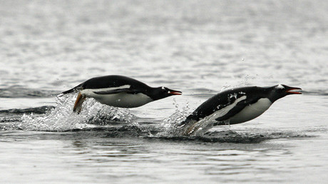 Penguins with GoPros: Antarctic birds boast specialized calls at sea, study finds (VIDEOS)