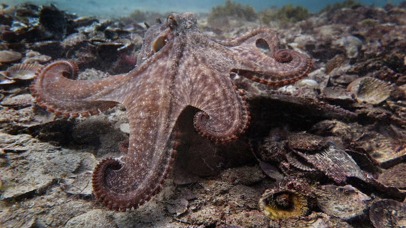 Mysterious city of 'Octlantis' – where octopuses mate, build homes & evict rivals (PHOTOS)