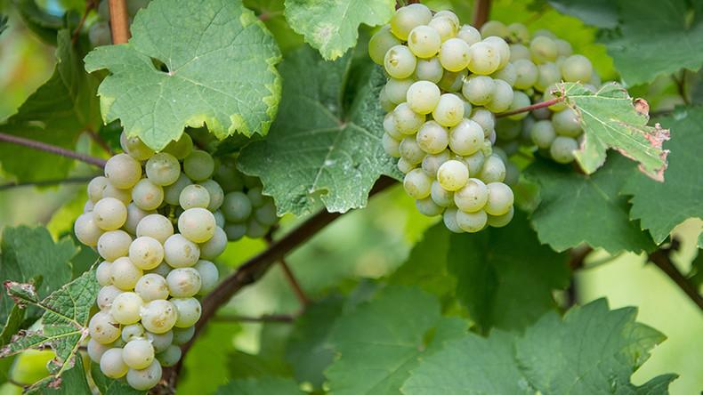 Sacre bleu! Grape thieves fleece France's vineyards