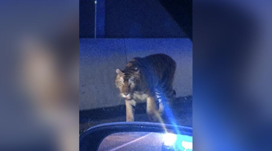 Police kill tiger roaming city streets near Atlanta, Georgia (GRAPHIC PHOTOS)