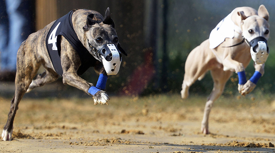 Druggy Doggy: Irish champion greyhound banned after testing positive for cocaine 3 times
