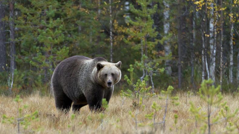 Man-eating bears 'besieging' Siberian villages – official